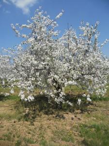 Virágzó meggyfa